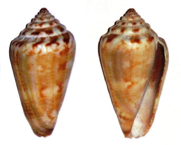 Conus (Rhizoconus) cumingii Reeve, 1848 Conus_12
