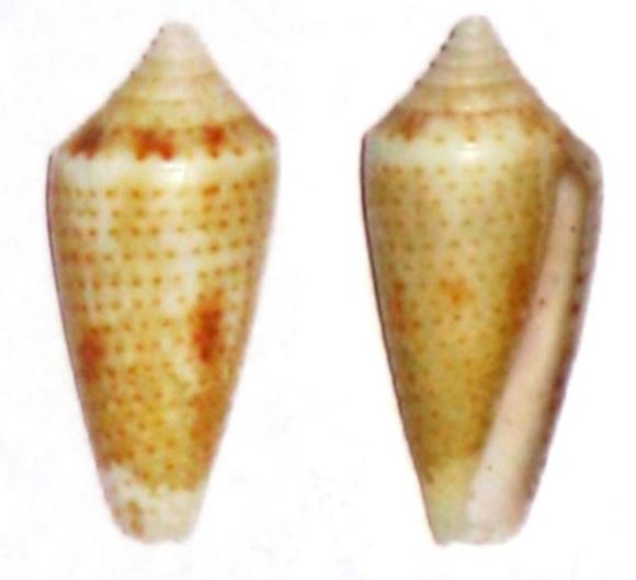 Conasprella (Ximeniconus) ximenes (Gray, 1839) Conus_13