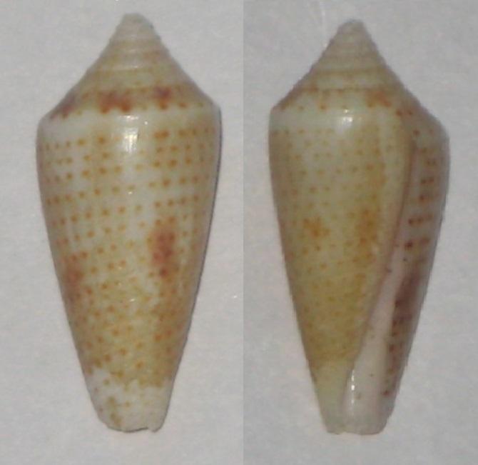 Conasprella (Ximeniconus) ximenes (Gray, 1839) Conus_14