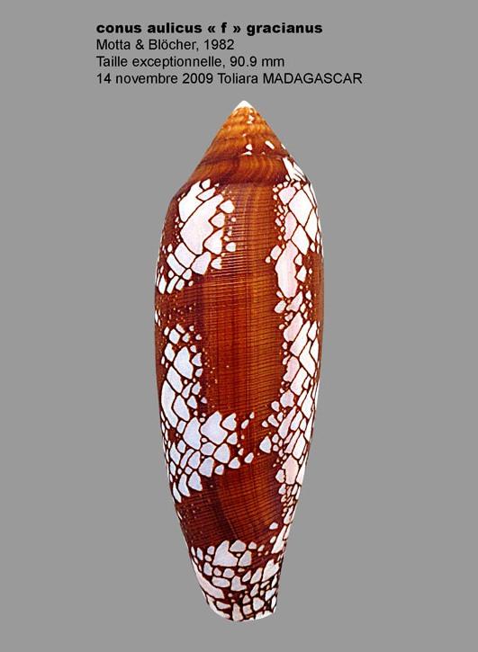 Conus (Darioconus) aulicus f. gracianus (da Motta, 1982) Conus_16