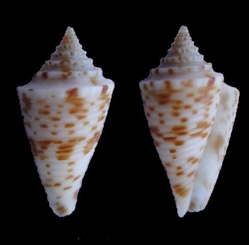 Conasprella_eugrammata Conus_18
