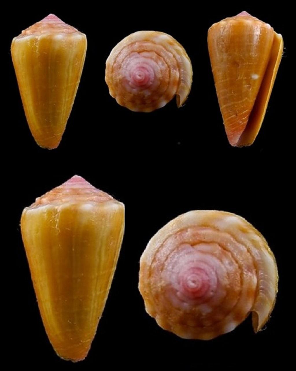 Conus (Dauciconus) Zylmanae (Petuch, 1998) Conus_20