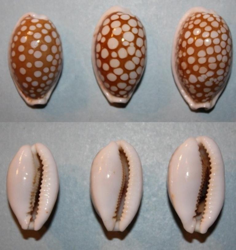 Cribrarula abaliena australiensis Lorenz, 2002 Cribra12