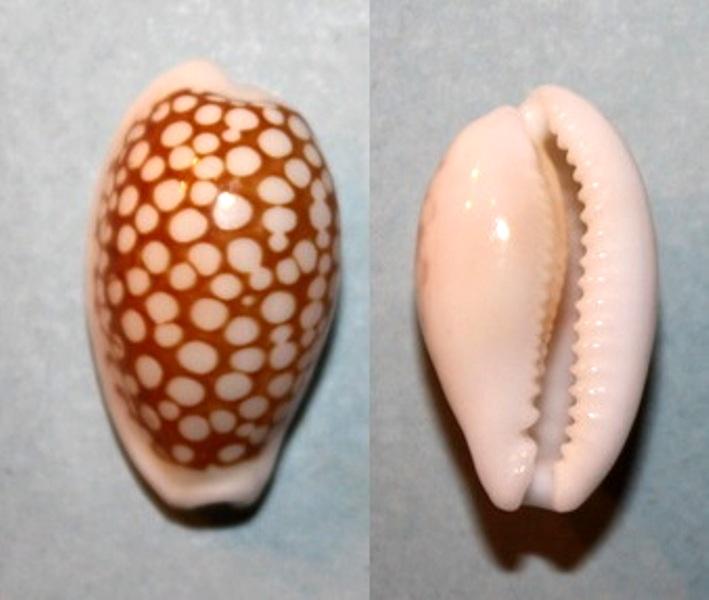 Cribrarula abaliena - Lorenz, 1989 Cribra13