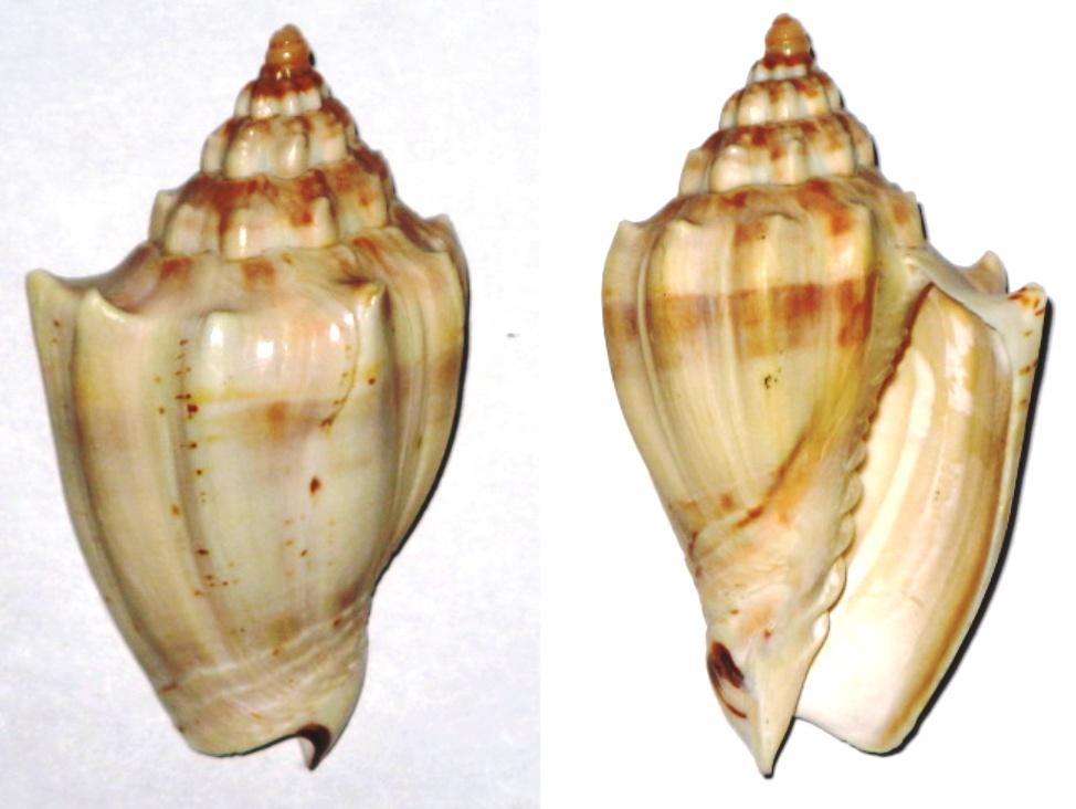 Volutidae - Cymbiola rossiniana Cymbio10