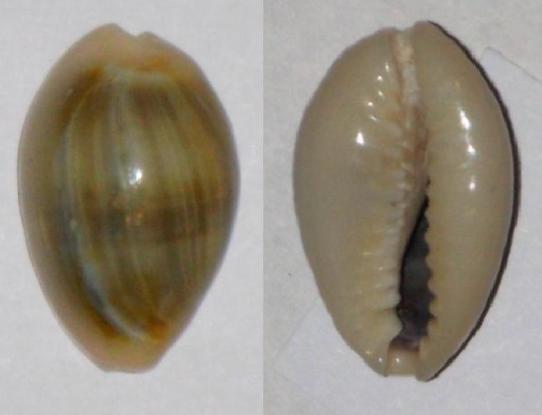 Cypraea annulus Cyprae10