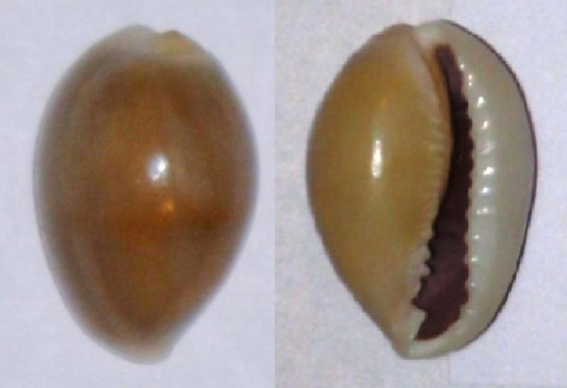 Cypraea annulus Cyprae11