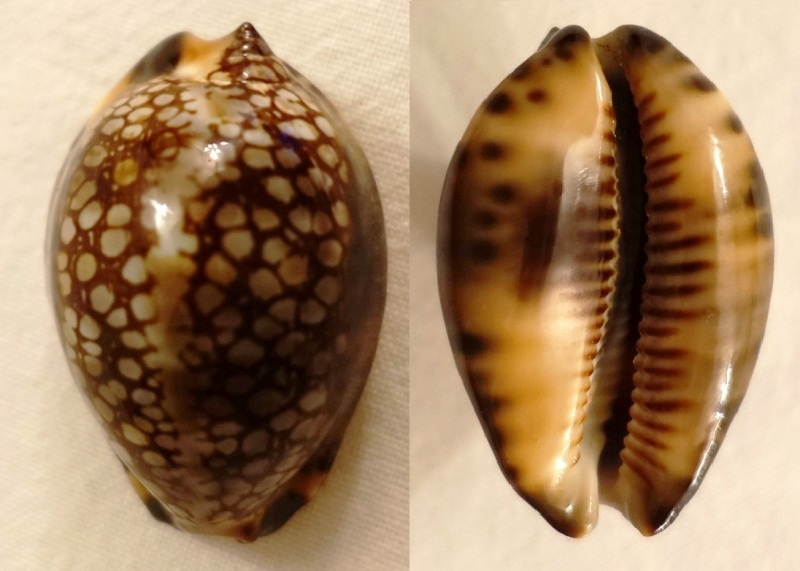 Maculifera martybealsi f. derkai (Lorenz, 2017) Cyprae13