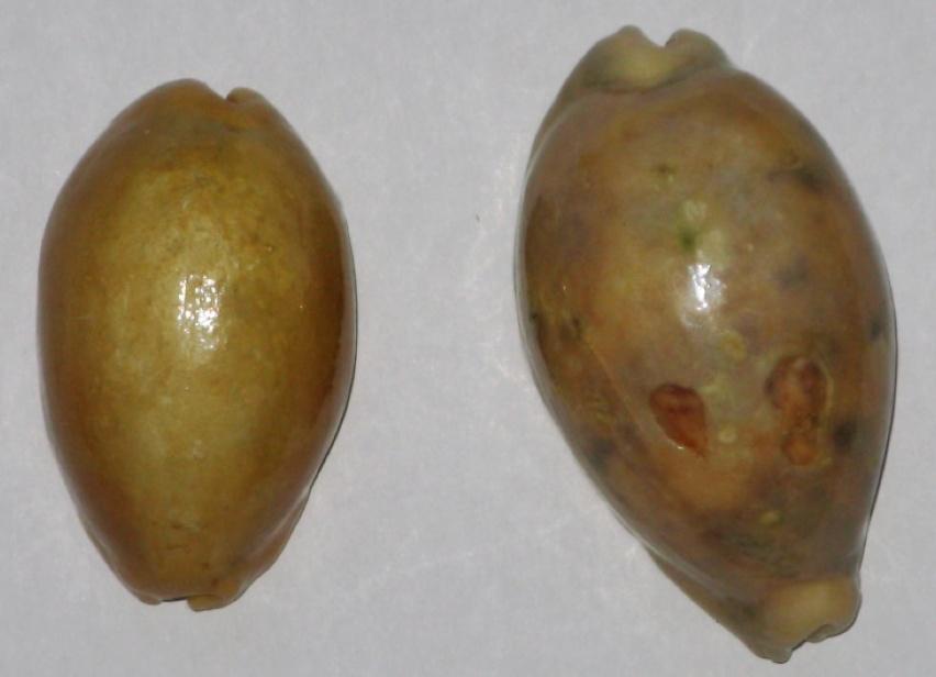 Cypraea carneola et lynx Cyprea11