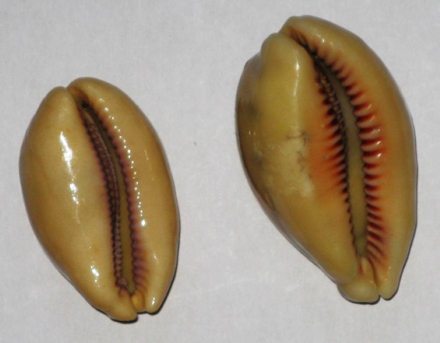 Cypraea carneola et lynx Cyprea12