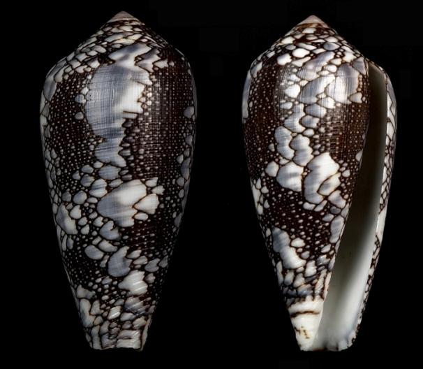Conus (Darioconus) pennaceus Born, 1778  du Mozambique Darioc13
