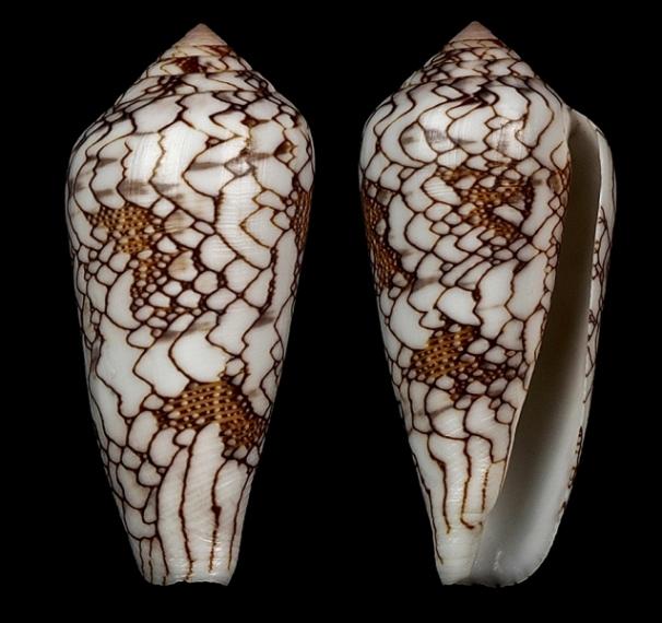 Conus (Darioconus) pennaceus Born, 1778  du Mozambique Darioc14