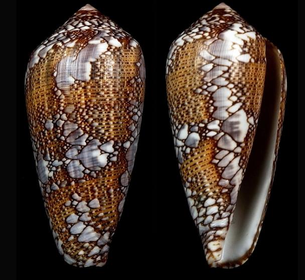 Conus (Darioconus) pennaceus Born, 1778  du Mozambique Darioc15