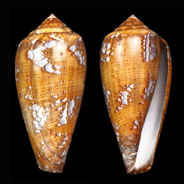 Conus (Darioconus) pennaceus Born, 1778  du Mozambique Darioc17