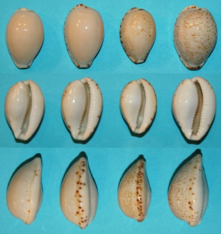 Notocypraea declivis - (G. B. Sowerby II, 1870)  Decliv10