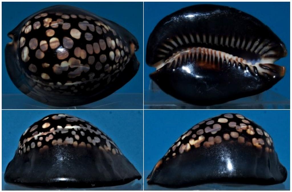 Mauritia mauritiana - (Linnaeus, 1758) plutôt sympa  Dsc02710