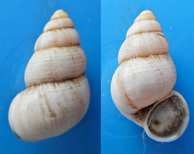 Leonia mamillaris (Lamarck, 1822 ) Dscn3614