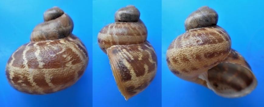 Helix aspersa f. subcornucopiae (O.F. Muller, 1774) Dscn3615
