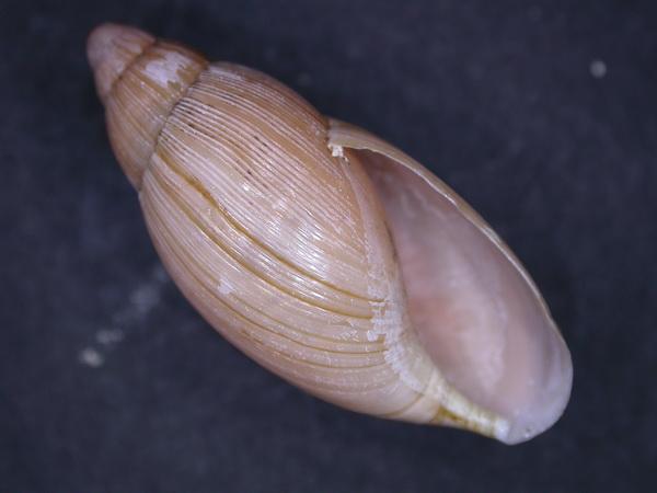Euglandina rosea (Férussac, 1821) Dscn3710