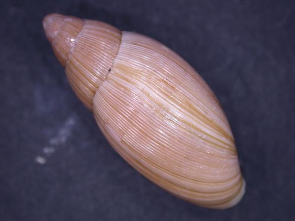 Euglandina rosea (Férussac, 1821) Dscn3711