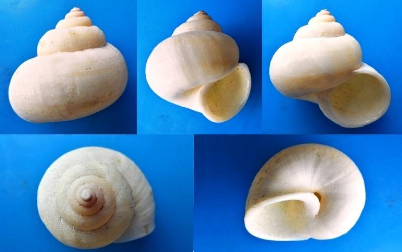 Tropidophora microchasma (Pfeiffer, 1856) Dscn3812