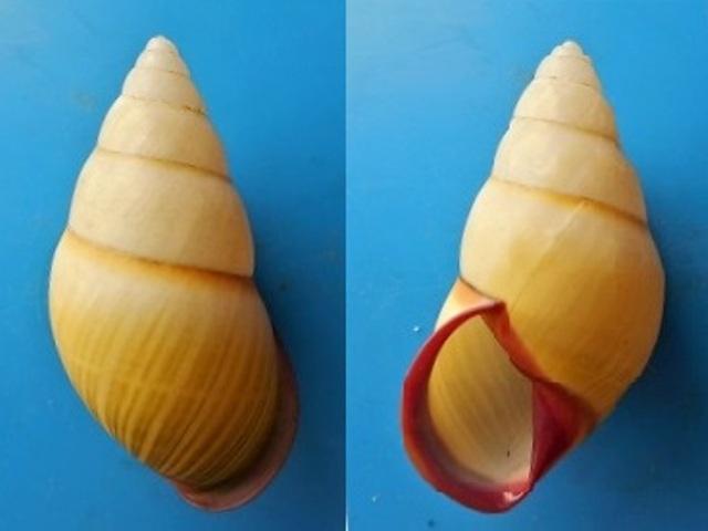 Amphidromus thakhekensis (Thach & huber, 2017) Dscn4012