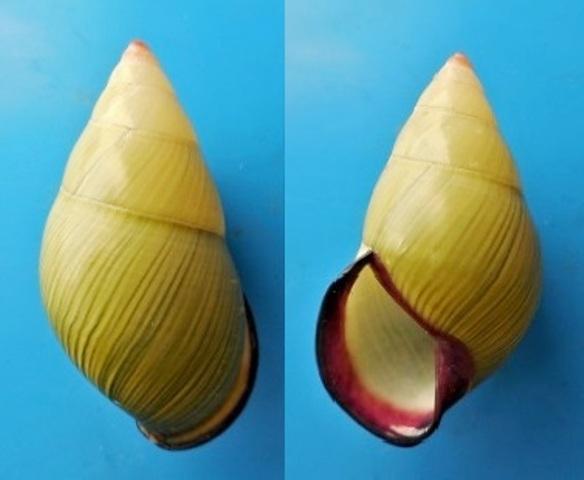 Amphidromus roseolabatus (Fulton, 1890) Dscn4013