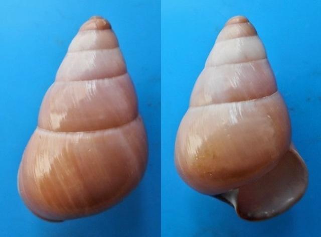 Phengus cincinnus (Sowerby, 1841) Dscn4112