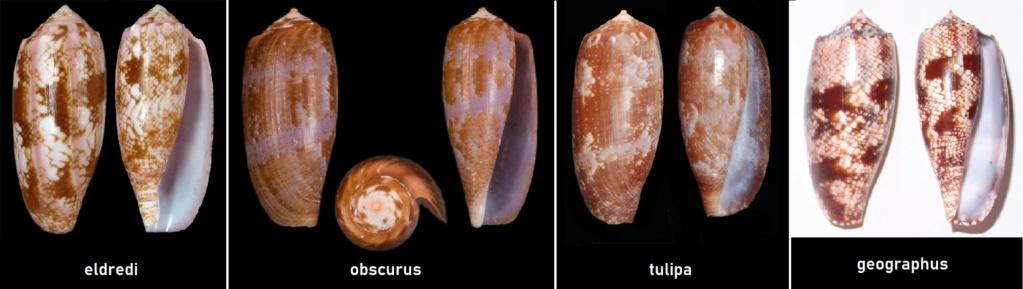 Conus_obscurus (G.B. Sowerby I, 1833)  Ile Maurice Eldred10