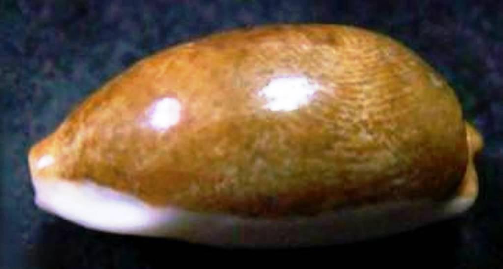 Erronea errones v. chrysophaea (Melvill, 1888) Errone10