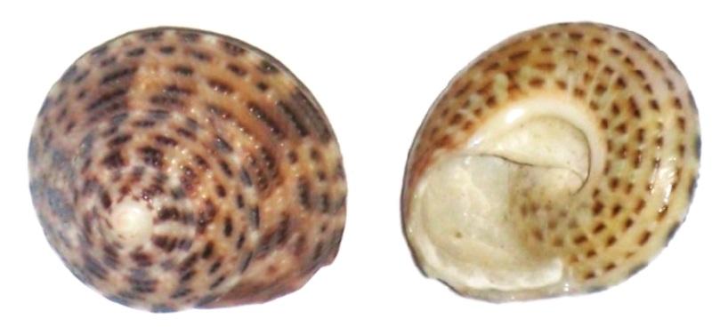 Trochus cariniferus - Reeve, 1842  Gibbul10