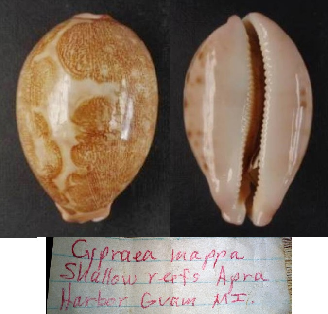 Leporicypraea mappa mappa - (Linnaeus, 1758)  I0002210