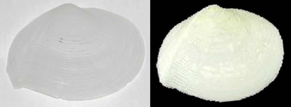 Tellina plicata - Valenciennes, 1827 Img01110
