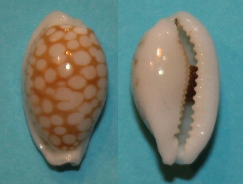 Cribrarula abaliena australiensis Lorenz, 2002 Img_0213
