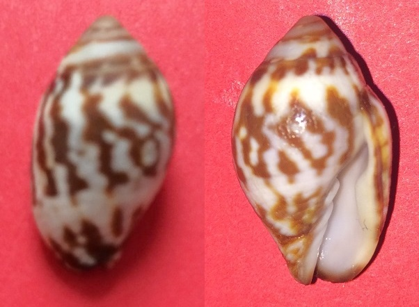 Strigatella litterata - (Lamarck, 1811) Img_0811