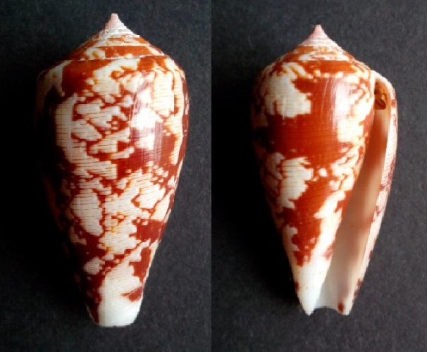 Conus (Pionoconus) fischoederi   Röckel & da Motta, 1983 Img_2011