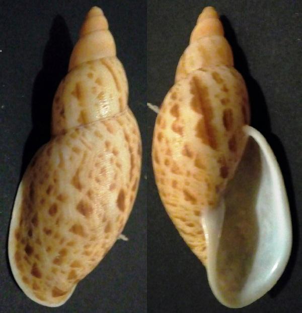 Placostylus (Proaspastus) hargravesi (Cox, 1871) Img_2017
