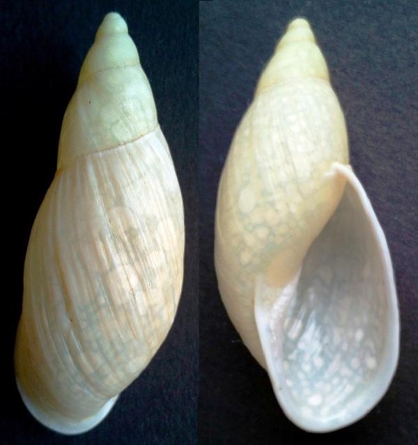 Placostylus miltocheilus forme albolabris (Brazier, 1895) Img_2018