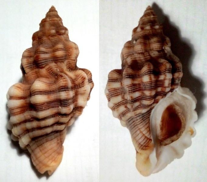 Roperia poulsoni - (Carpenter, 1864) Img_2023