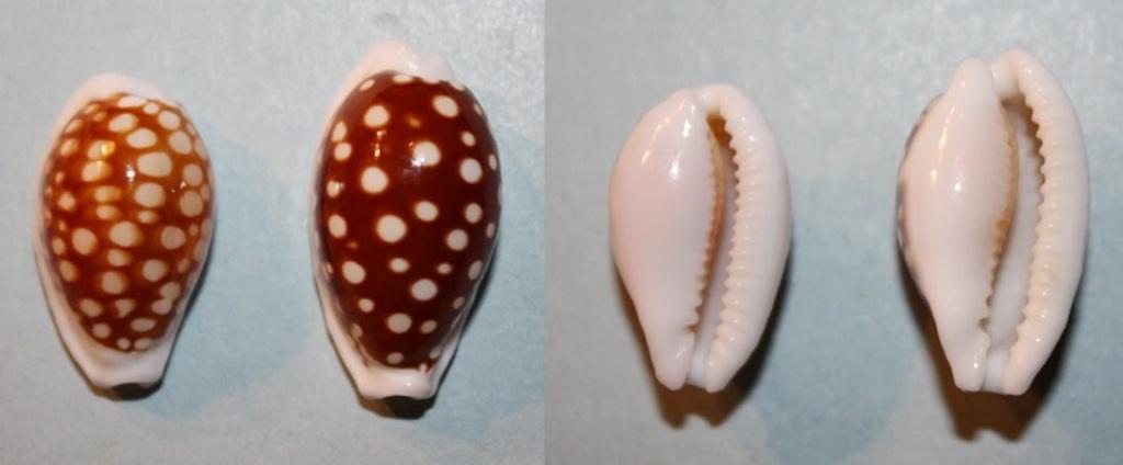 Cribrarula abaliena australiensis Lorenz, 2002 Img_6610