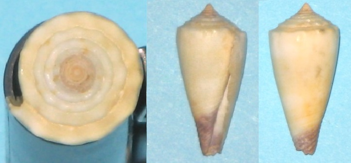 Conus (Lividoconus) muriculatus GB Sowerby I, 1833 Img_9210