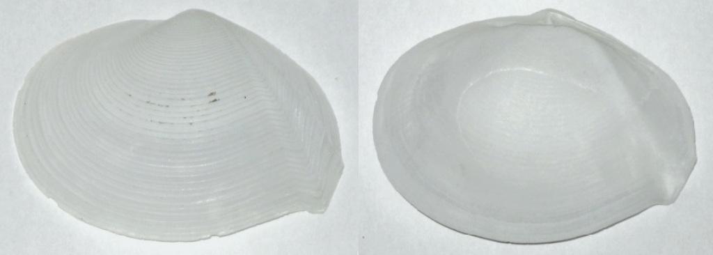 Tellina plicata - Valenciennes, 1827 Img_9513