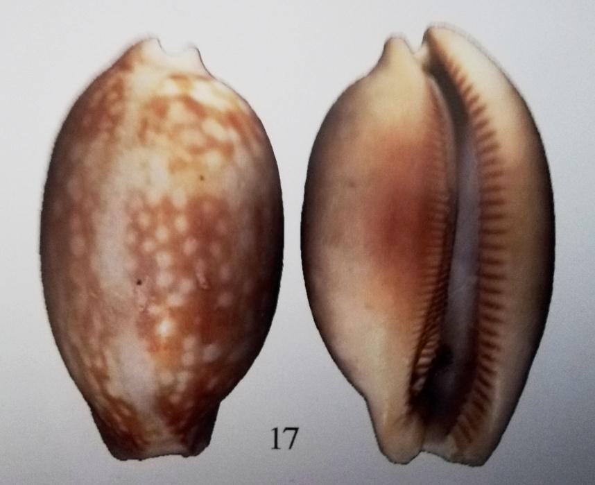 Macrocypraea mammoth - Simone & Cavallari, 2020  -  nouvelle espèce de Trindade Macroc10