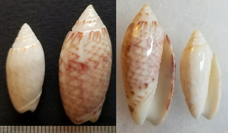 Americoliva reticularis lilacea (Paulmier, 2013) Oliva_10
