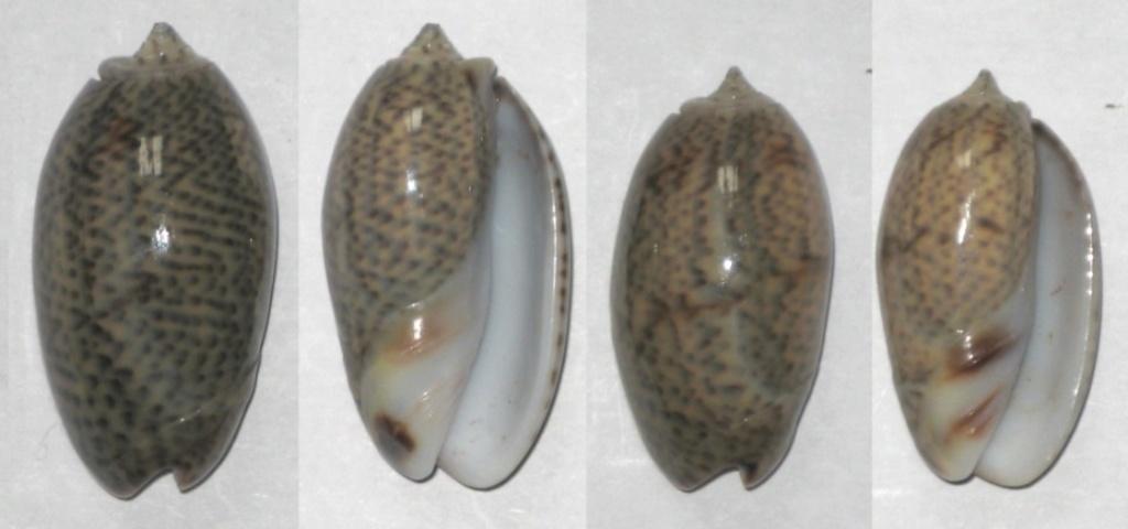 Carmione bulbosa (Röding, 1798)  Olives10