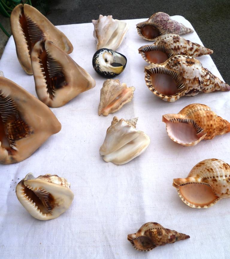 Collection de coquillages Ile de la Réunion et Marie-Galantede 1983 et 2000/2002 P1030011