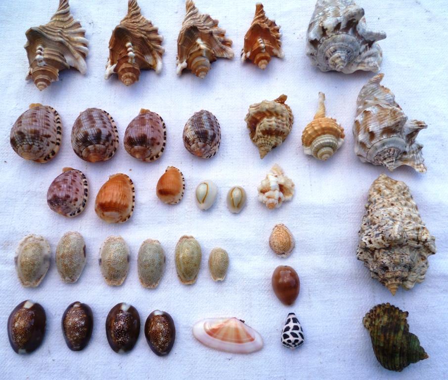 Collection de coquillages Ile de la Réunion et Marie-Galantede 1983 et 2000/2002 P1030014