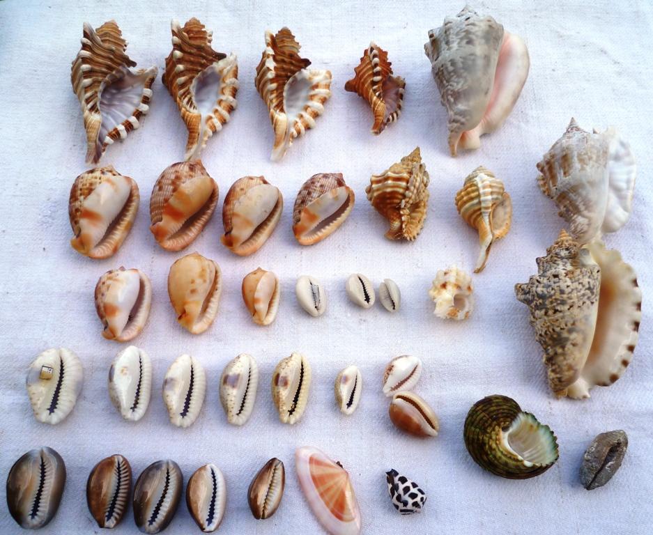 Collection de coquillages Ile de la Réunion et Marie-Galantede 1983 et 2000/2002 P1030018