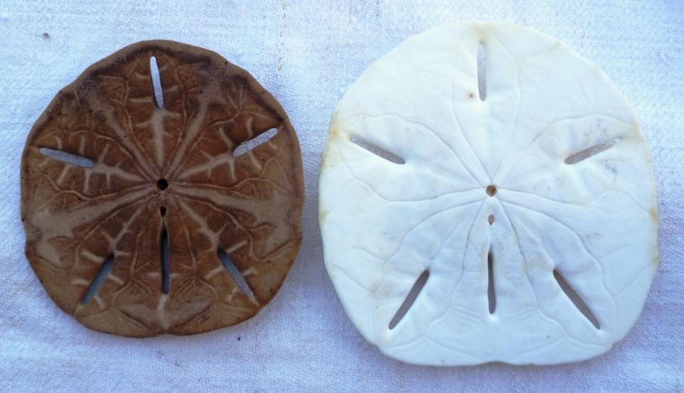 Collection de coquillages Ile de la Réunion et Marie-Galantede 1983 et 2000/2002 P1030022