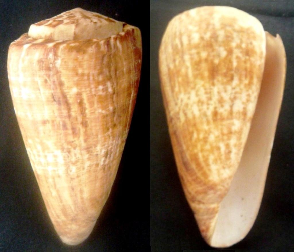 Conus (Kalloconus) pulcher   [Lightfoot], 1786 - variation sénégalaise - Page 2 P1060311
